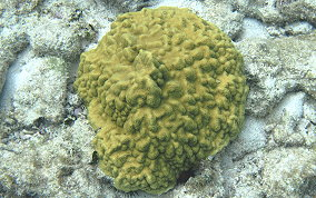 Mustard Hill Coral - Porites astreoides