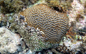 Symmetrical Brain Coral - Diplora strigosa