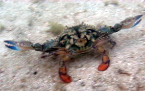 Blue Crab - Callinectes spp.