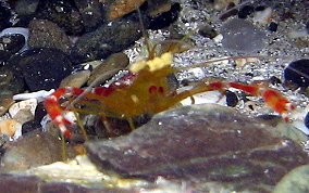Golden Coral Shrimp - Stenopus scutellatus