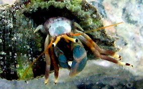 Orange Claw Hermit Crab - Calcinus tibicen