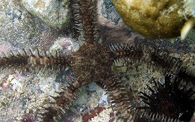 Spiny Leather Brittle Star - Ophiocoma echinata