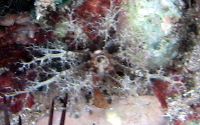 Hidden Sea Cucumber
