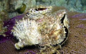 Atlantic Wing-Oyster - Pteria colymbus