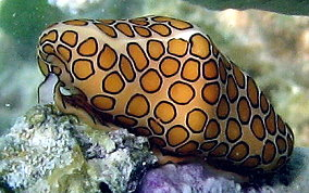 Flamingo Tongue - Cyphoma gibbosum
