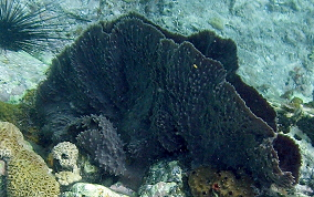 Elongated Vase Sponge - Callyspongia vaginalis