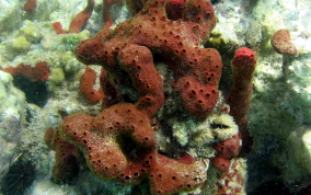 Scattered Pore Sponges - Amphimedon compressa
