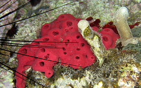 Shallow Water Strawberry Sponge -  Igernella notabilis