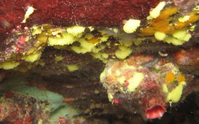 Yellow Knit Sponge - Clathrina sp.