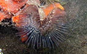 Black-Spotted Tube Worm - Branchiomma nigromaculata