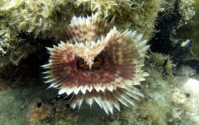 Magnificent Feather Duster Worm - Sabellastarte magnifica