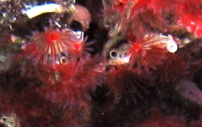 Red Colonial Tube Worm - Filogranella elatensis