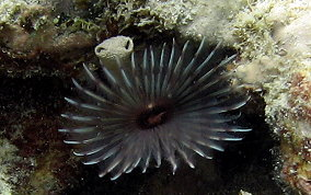 Variegated Feather Duster Worm - Bispira variegata