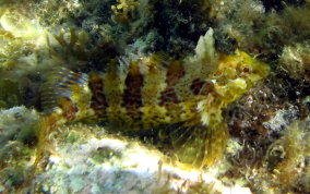Barfin Blenny