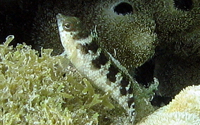 Rosy Blenny-Female - Malacoctenus macropus