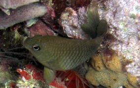 Cocoa Damselfish - Stegastes veriabilis