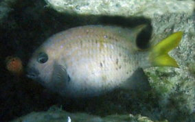 Yellowtail Damselfish - Microspathodon chrysurus