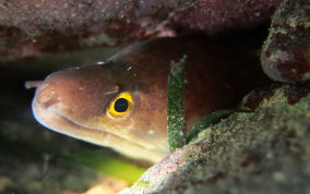 Purplemouth Moray Eel