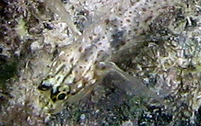 Colon / Bridled Goby - Coryphopterus dicrus / Coryphopterus glaucofraenum