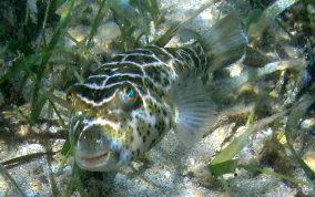 Cherckered Pufferfish - Sphoeroides testudineus