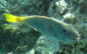 Redfin/Yellowtail Parrotfish- Sparisoma rubripinne