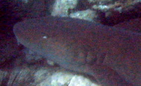 Nurse Shark - Ginglymostoma cirratum