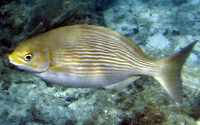 Chub - Kyphosus sectatrix/incisor