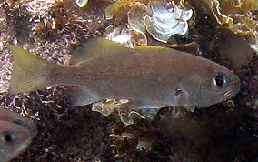 Reef Croaker - Odontoscion dentex
