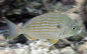 Sea Bream - Archosargus rhomboidalis