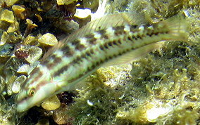 Slippery Dick Wrasse