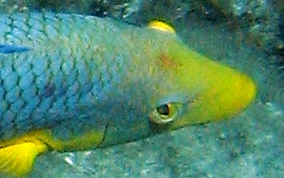 Spanish Hogfish - Bodianus rufus