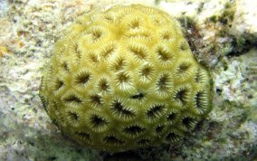 Golfball Coral
