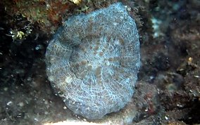 Solitary Disk Coral - Scolymia cubensis