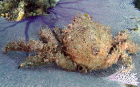 Hairy Clinging Crab - Mithrax pilosus