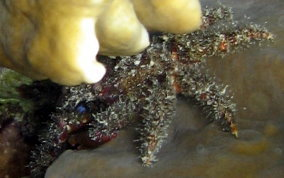Paved Clinging Crab - Mithrax verrucosus