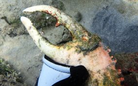Channel Clinging King Crab   - Mithrax spinosissimus