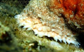 Five-Toothed Sea Cucumber - Actinopygia agassizii