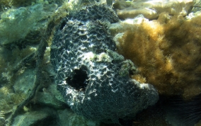 Black Ball Sponge - Ircinia strobilina