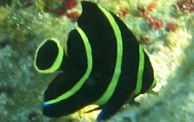 Franch Angelfish
