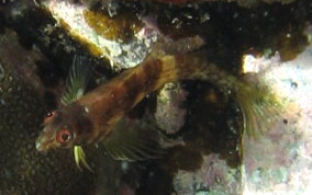 Goldline Blenny
