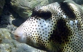 Spotted Trunkfish - Lactophrys bicaudalis