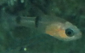 Barred Cardinalfish